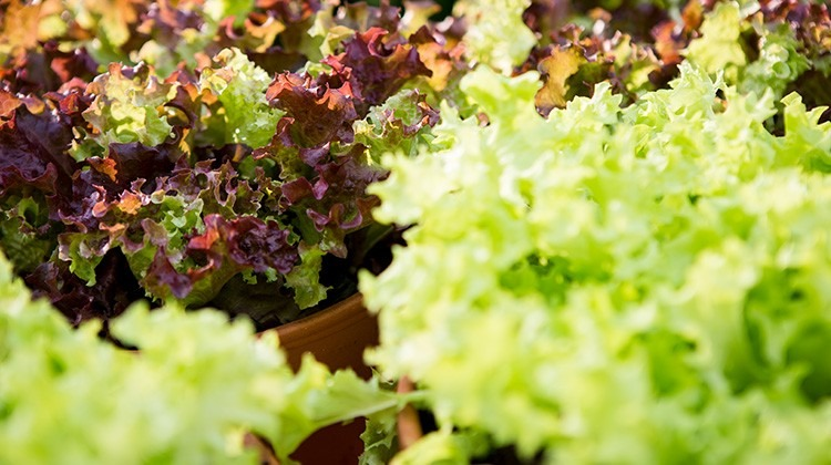 Salate im Garten © GettyImages