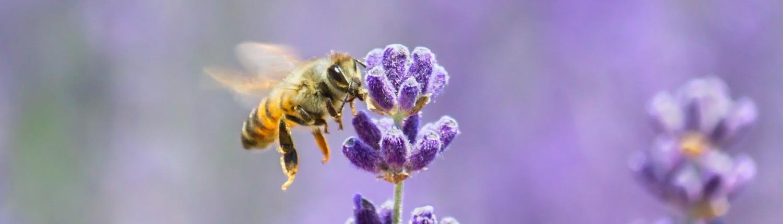 Biene bei Lavendel © Getty Images