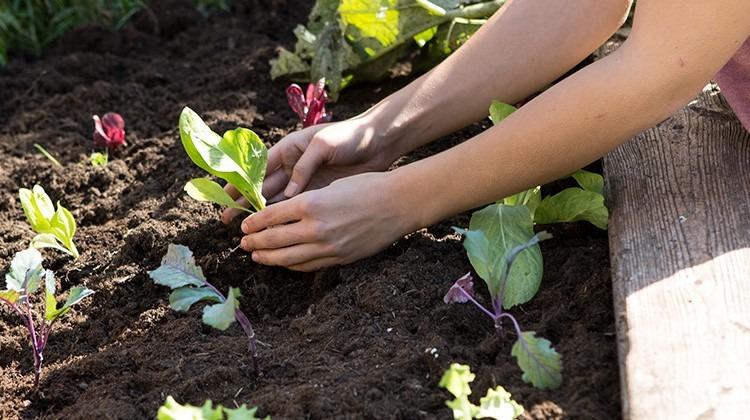 Einsetzen einer Salatpflanze in ein Hochbeet