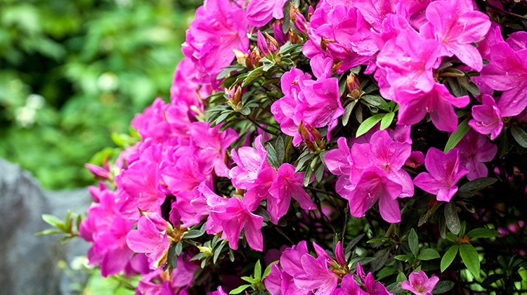 Rhododendron © Getty Images