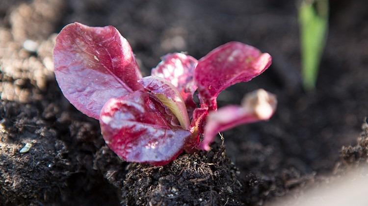 Junges Salatpflänzchen im Beet