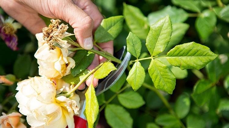 Abschneiden eine Rose mit einer Gartenschere