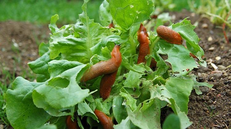 Nacktschnecken im Salatbeet © Getty Images