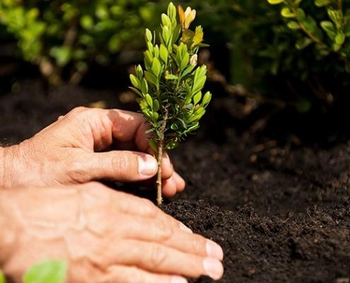 Einpflanzen eines Buchsbaumes © Getty Images