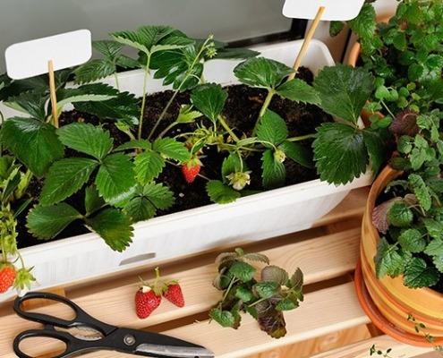 Erdbeerpflanzen im Balkonkisterl