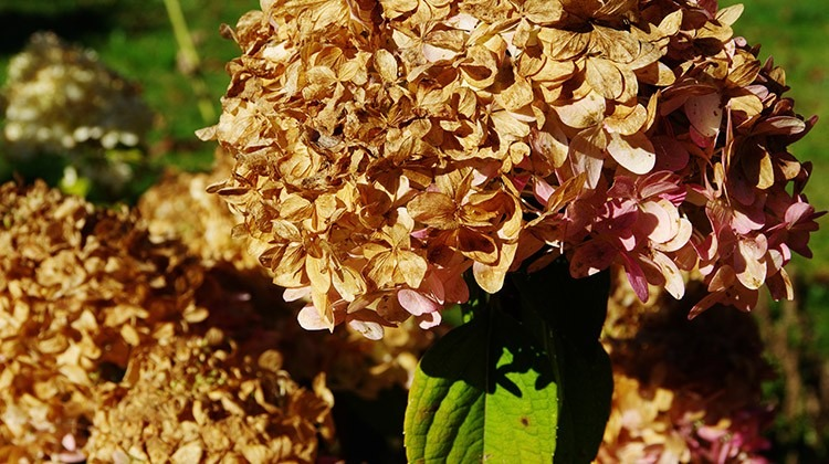 Hortensienwunder Gartengeheimnis At