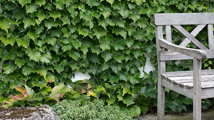 Efeu an einer Gartenmauer