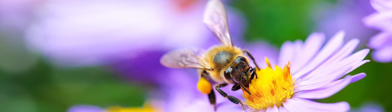Nützling Biene im Garten