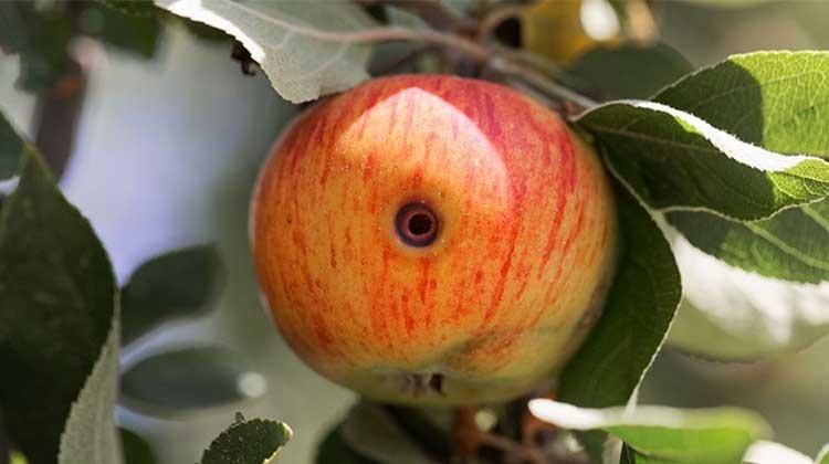 Schadbild eines Apfelwicklers in einem roten Apfel - © GettyImages