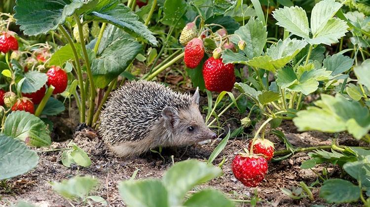 Igel zwischen reifen Erdbeeren