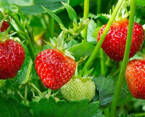 Erdbeeren © GettyImages