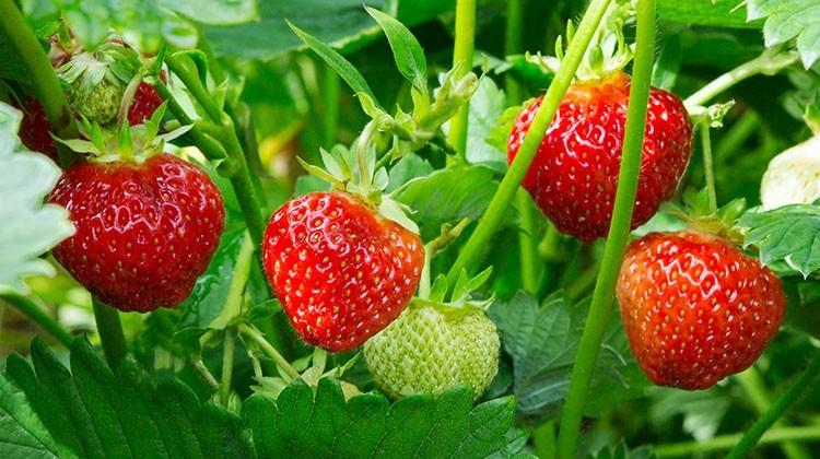 Lieblings Erdbeer Vielfalt - Gartengeheimnis.at &LY_43