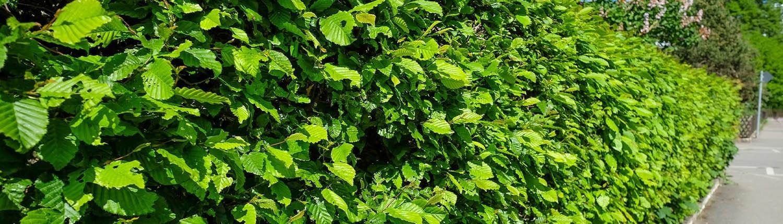 Heckenpflanzen © GettyImages