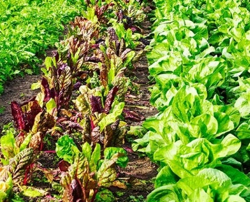 Salate im Gemüsebeet © GettyImages