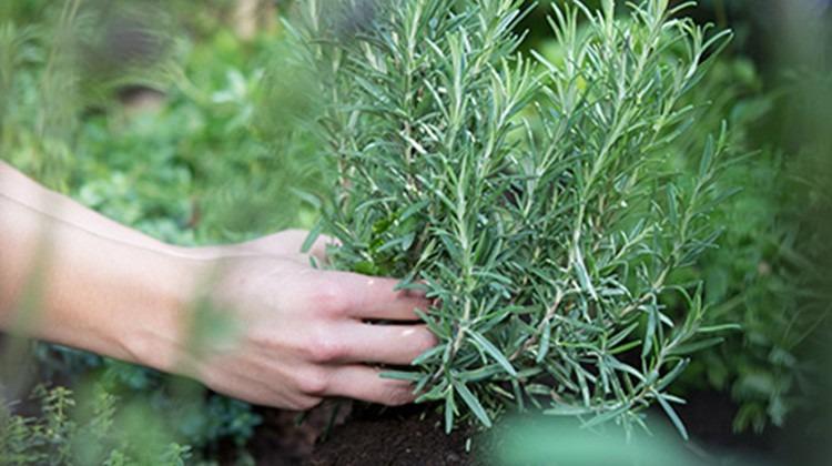 Rosmarin einpflanzen