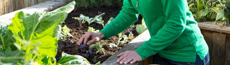 Einsetzen von Salatpflanzen