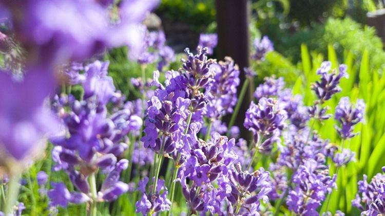 Etwas Neues genug Lavendel, das Parfum im Garten - Gartengeheimnis.at @AD_33