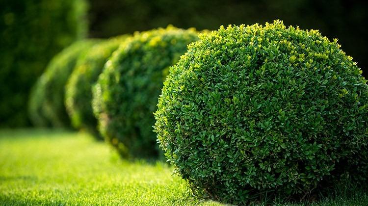 Mehrere gepflanzte Buchsbäume © GettyImages