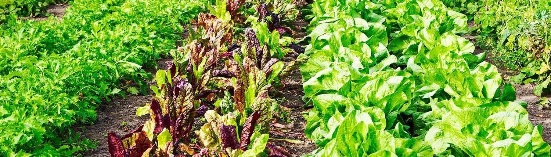 Verschiedene Salate im Beet - © GettyImages