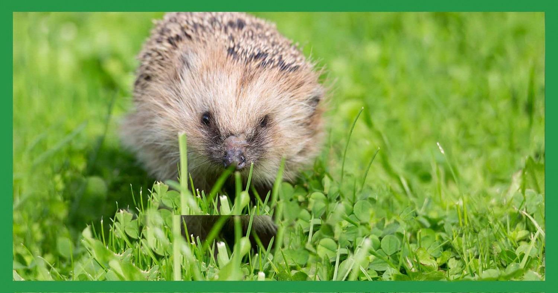 Kleiner Igel im Garten © GettyImages