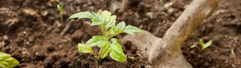 Tomatenpflanze in der Erde - © GettyImages