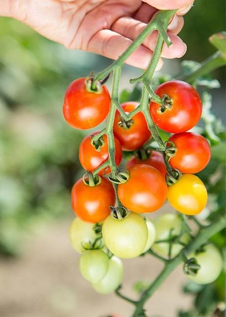 Tomaten an der Rispe