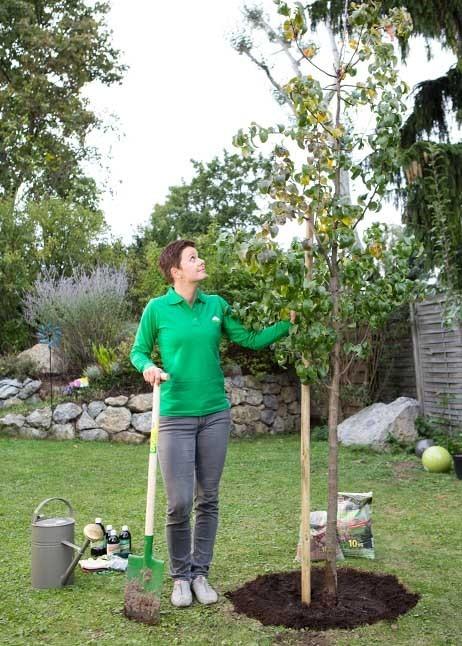 Neupflanzung eines Baumes