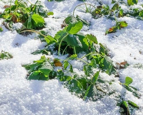 Erdbeerpflanzen unter einer Schneedecke - © GettyImages