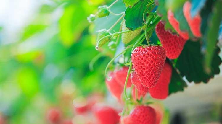 Reife Erdbeeren im Garten © GettyImages
