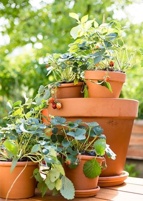 Erdbeeren in Töpfen