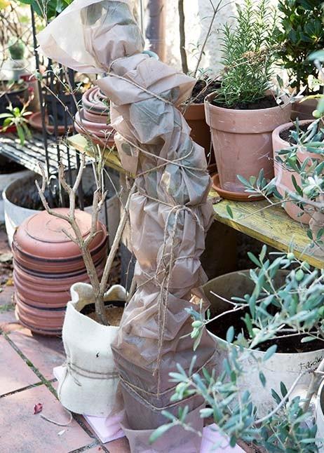 Vlies schützt die Kübelpflanzen bei Kälte