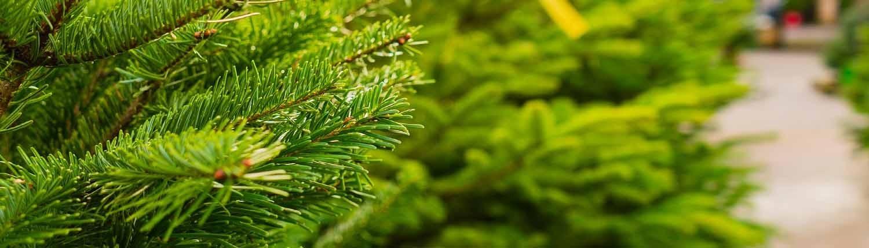 Wie der Christbaum lange frisch bleibt