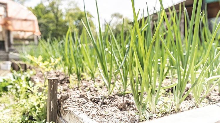 Selbst angebauter Lauch im Beet © GettyImages