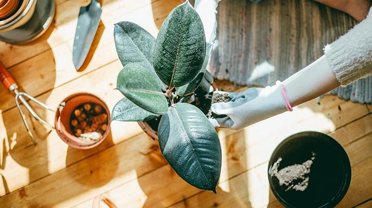 Zimmerpflanze umtopfen © GettyImages