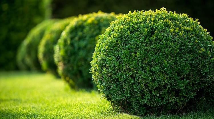 Buchsbäume © GettyImages