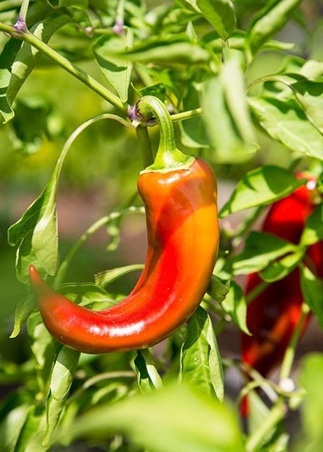 Paprika - Anbau im Klimawandel