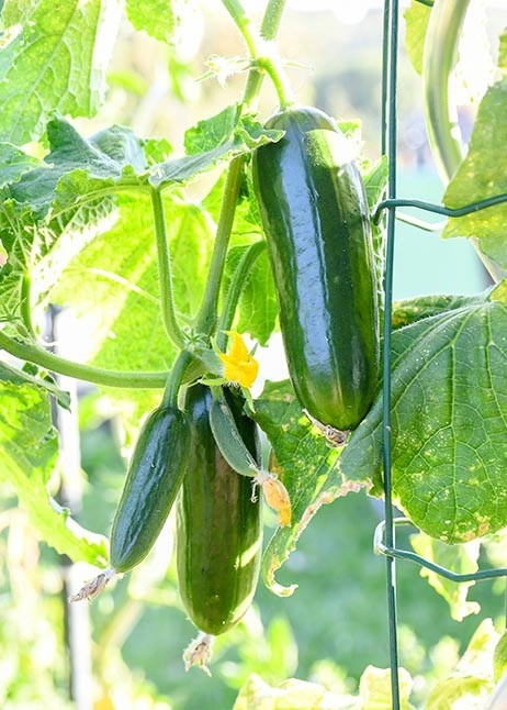 Kletterndes Gemüse - Gurkenpflanze © GettyImages