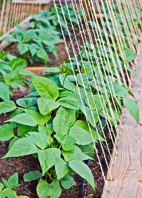 Kletterndes Gemüse - Bohne © GettyImages
