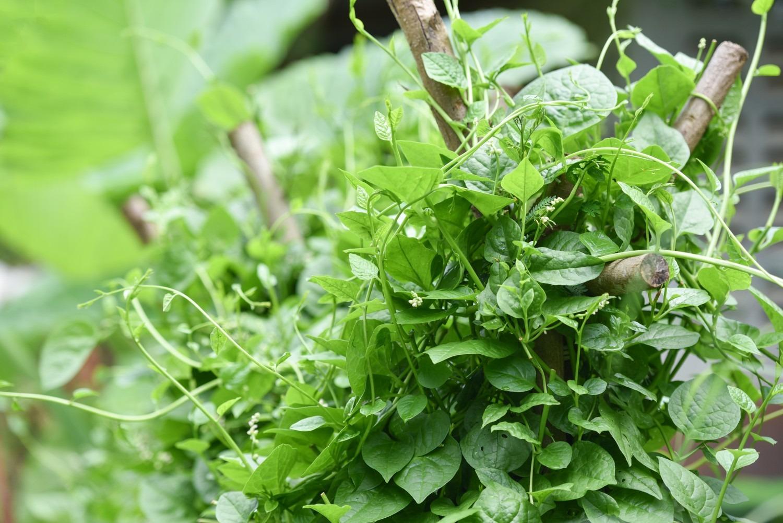 Kletterndes Gemüse - Malabarspinat © GettyImages