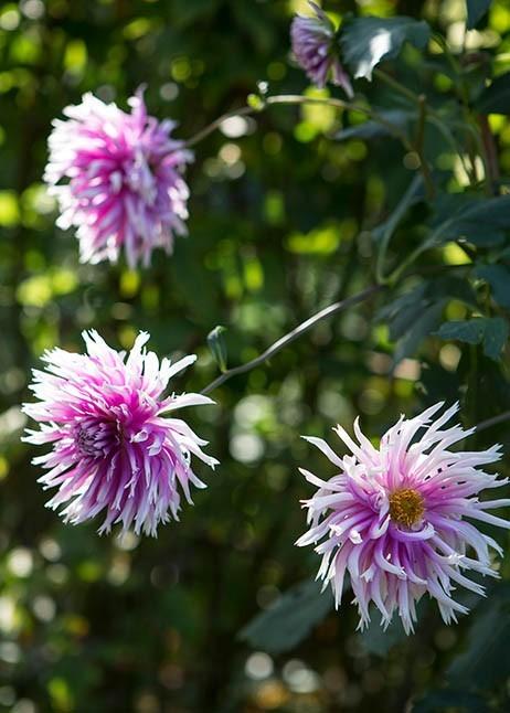 Dahlien an einem sonnigen Standort gepflanzt