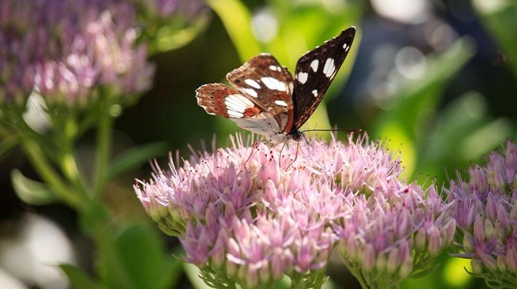 Schmetterling auf Fette Henne im Garten © GettyImages