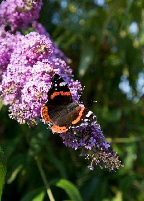 Schmetterling auf Sommerflieder im Garten © GettyImages