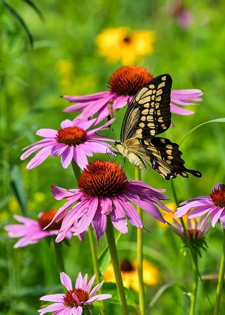 Schmetterling auf Sonnenhut im Garten © GettyImages