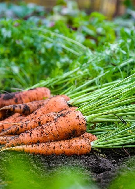 Karotten © GettyImages