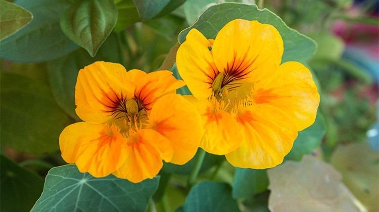 Essbare Blüte der Kapuzinerkrese © GettyImages