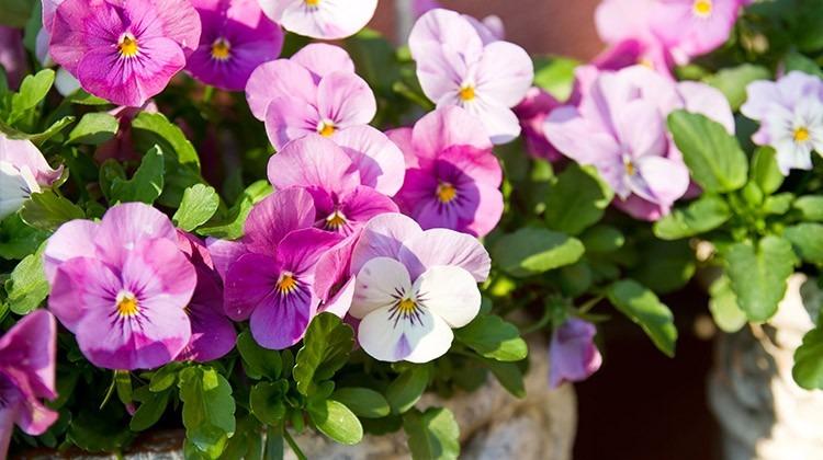 Essbare Blüten des Hornveilchens © GettyImages