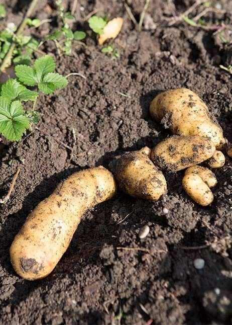 Obst- und Gemüseernte - Kartoffel in der Erde