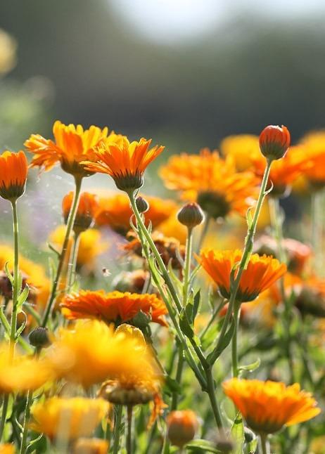 Essbare Blüte, Ringelblume © GettyImages