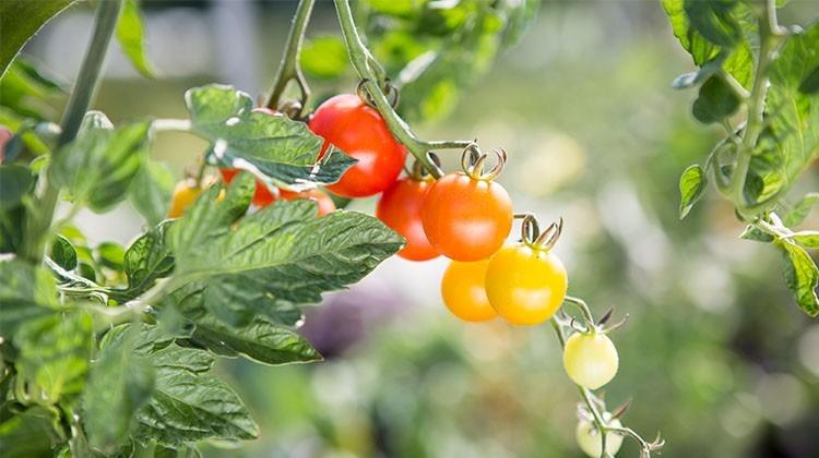 Obst- und Gemüseernte - Rispentomate
